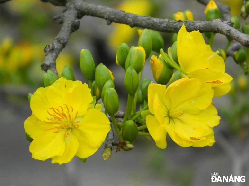 Hình ảnh mai vàng rực rỡ rất đẹp