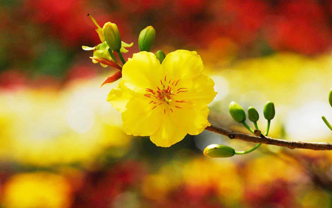 Hình ảnh một bông hoa mai vàng rất đẹp