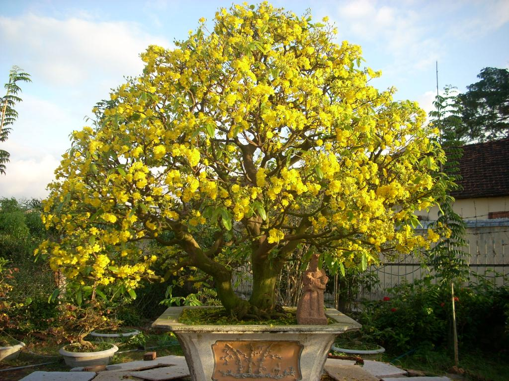Hình ảnh một chậu hoa mai vàng cực đẹp
