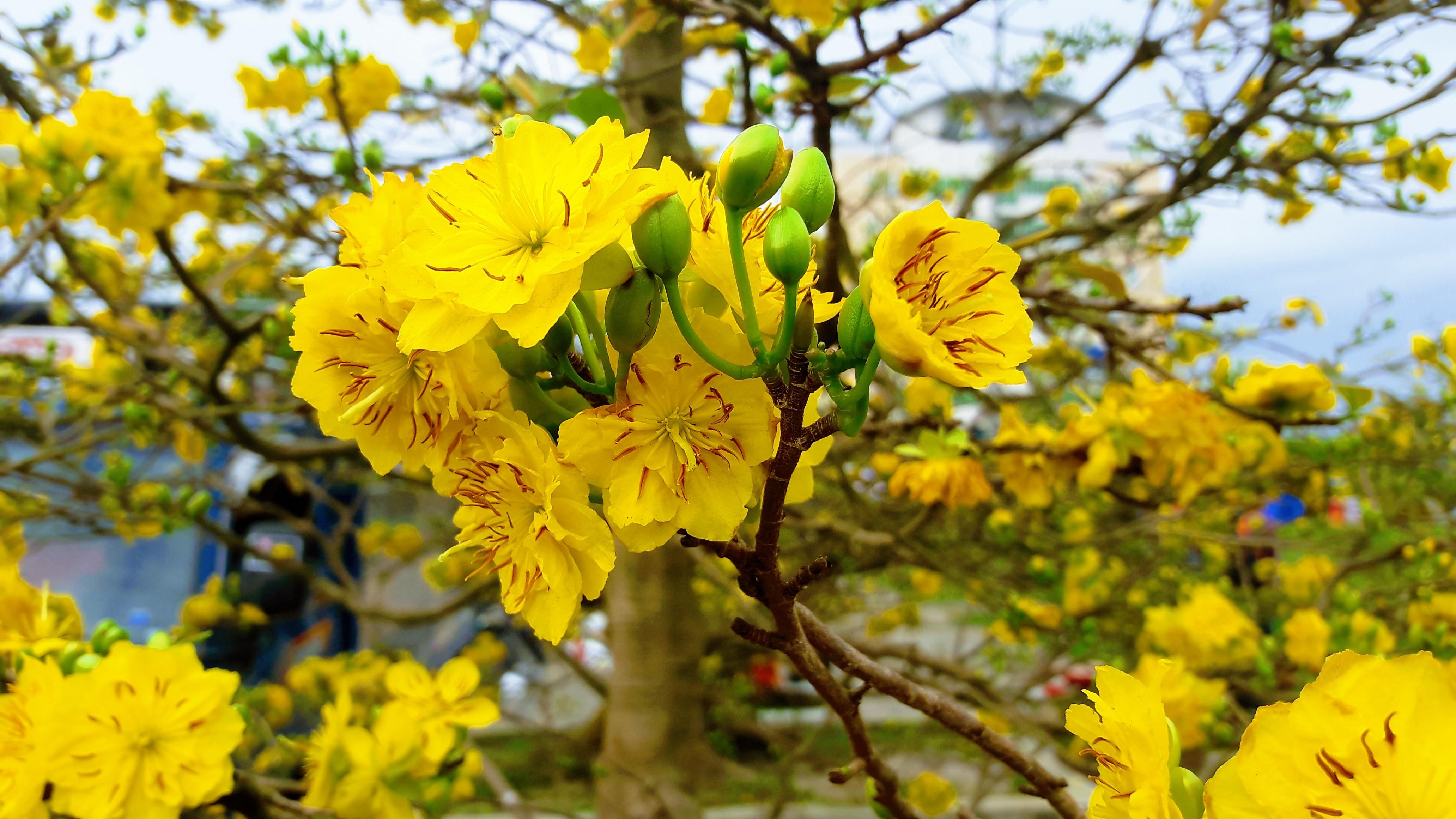 Hình ảnh những bông hoa mai vàng cực đẹp mắt