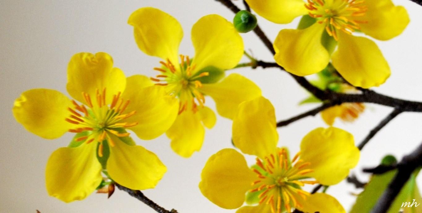 Hình ảnh những bông hoa mai vàng cực đẹp