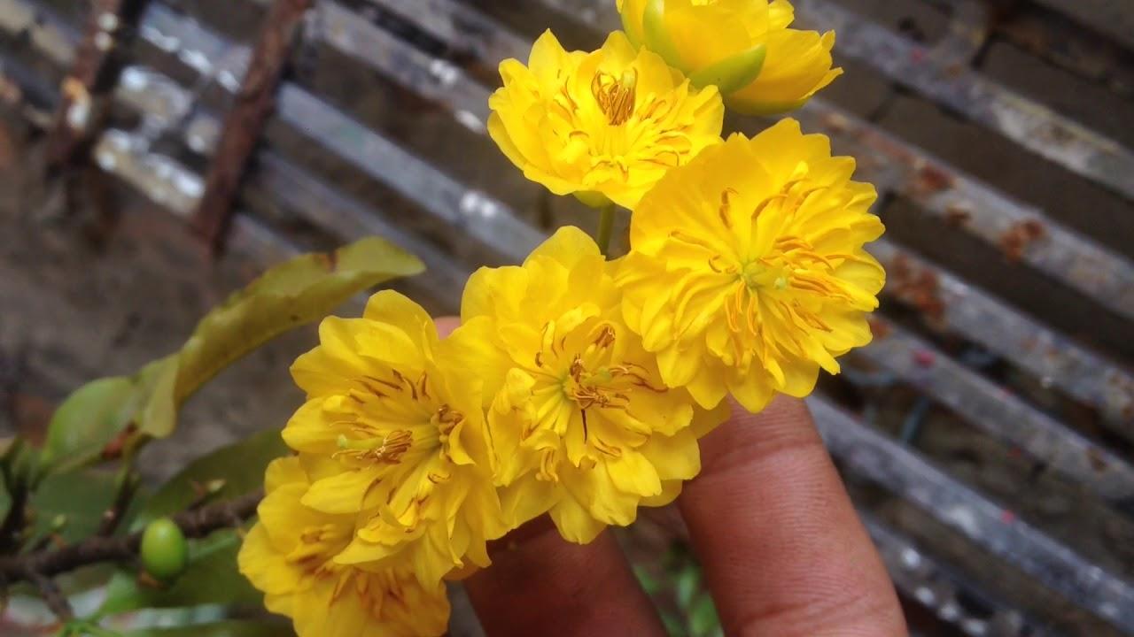 Hình ảnh những bông hoa mai vàng nở rất đẹp