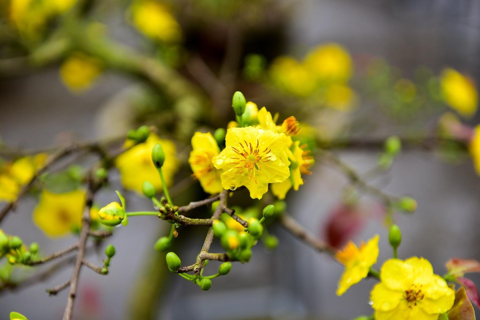 Hình ảnh những bông mai vàng cực đẹp