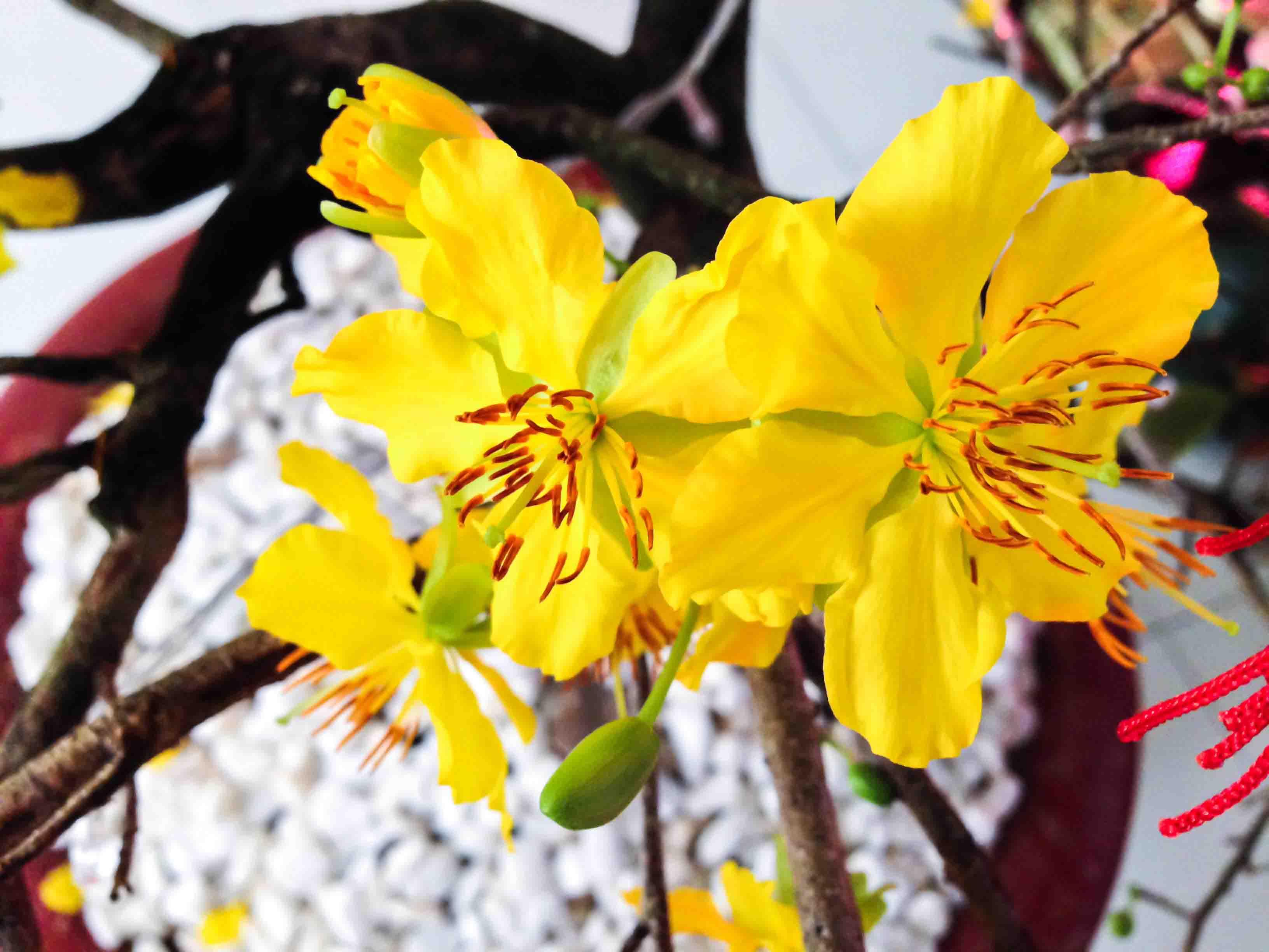 Hình ảnh những bông mai vàng nhụy đỏ rất đẹp