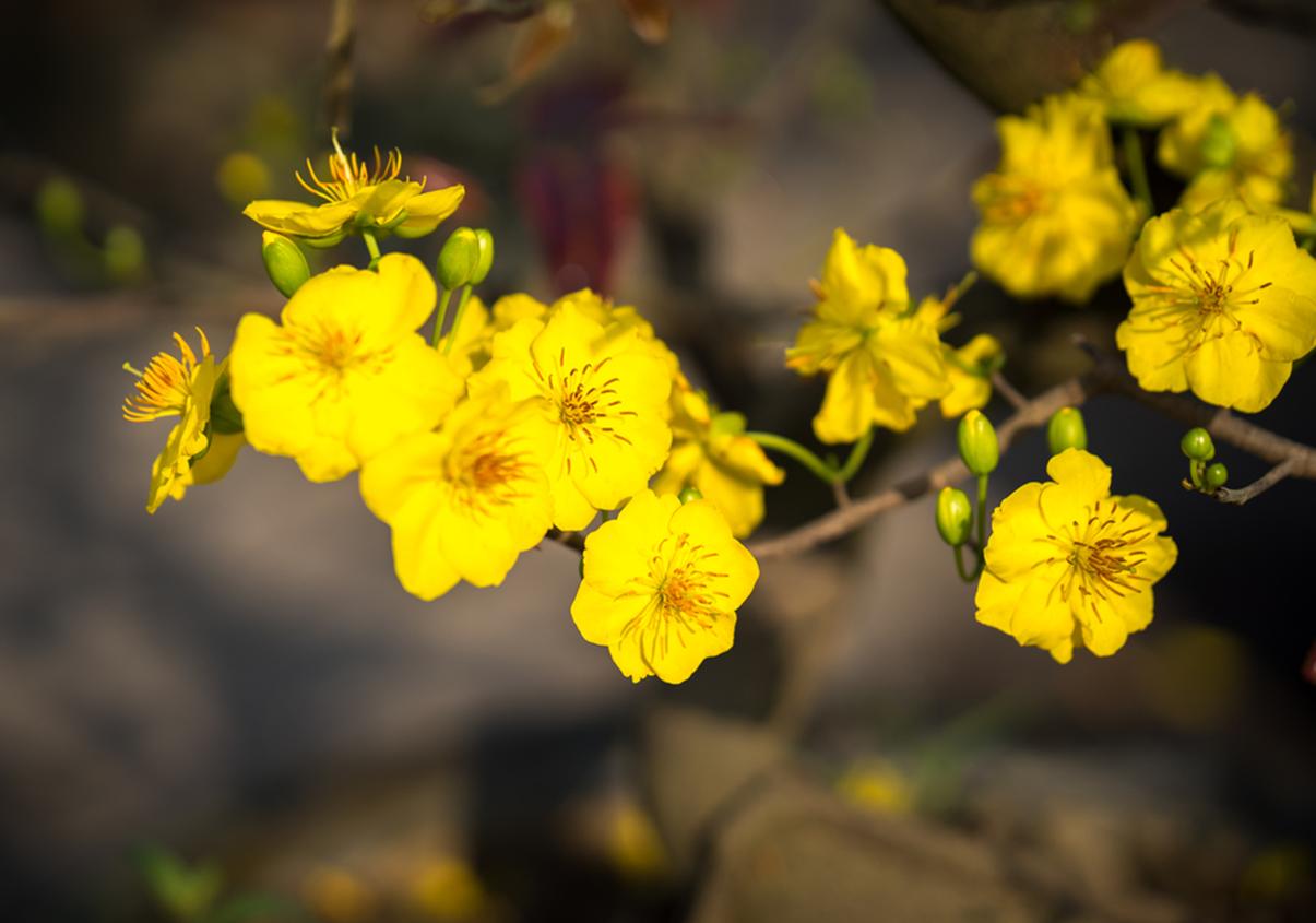 Hình ảnh những bông mai vàng rất đẹp rất tươi