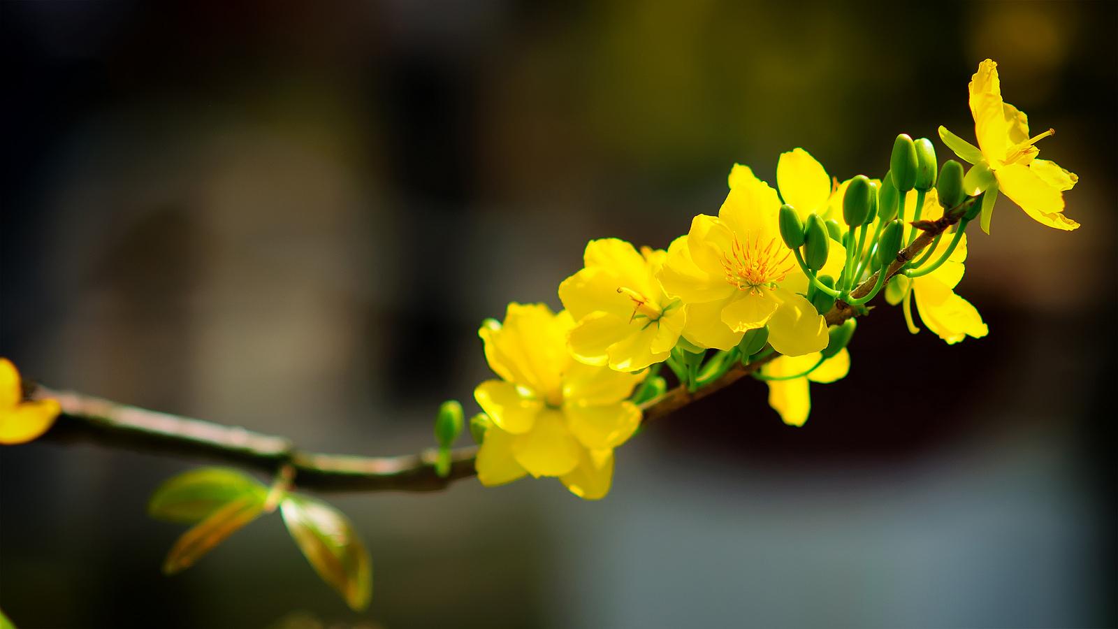 Hình ảnh những bông mai vàng rất đẹp