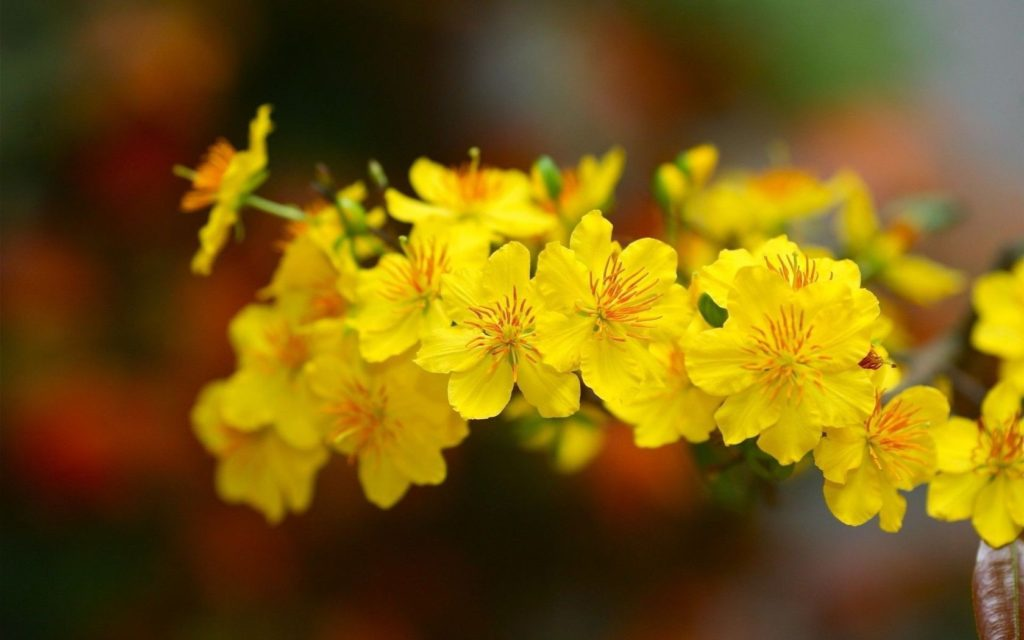 Hình ảnh những chùm hoa mai vàng cực đẹp