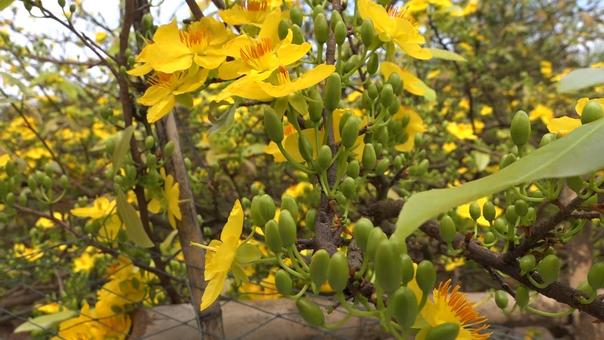 Hình ảnh vườn hoa mai vàng nở tươi đẹp