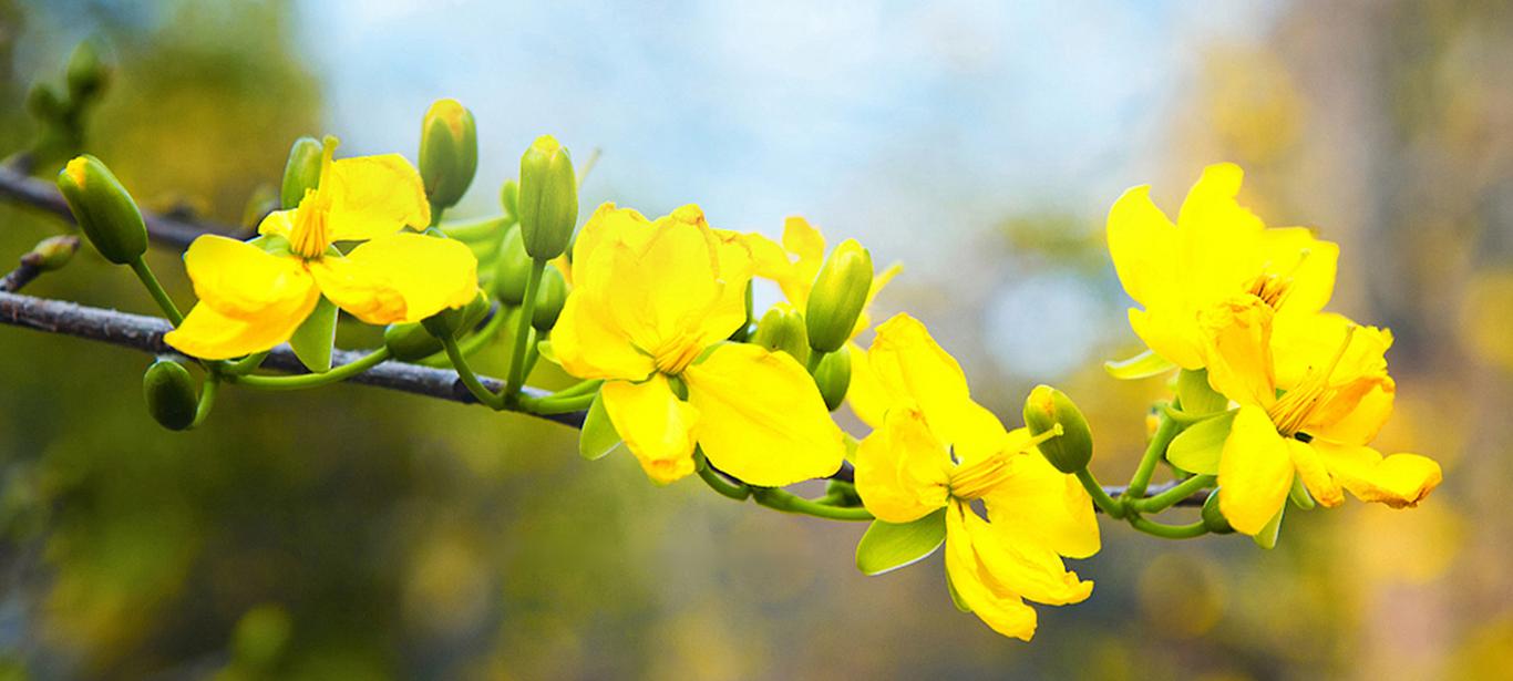 Hìnha rnh chậu hoa mai vàng mọc ngang