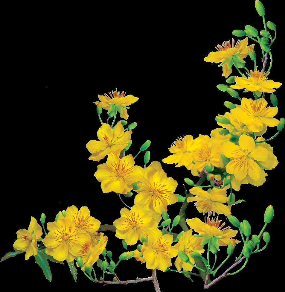 Tranh vẽ bông hoa mai vàng đã xóa nền đẹp