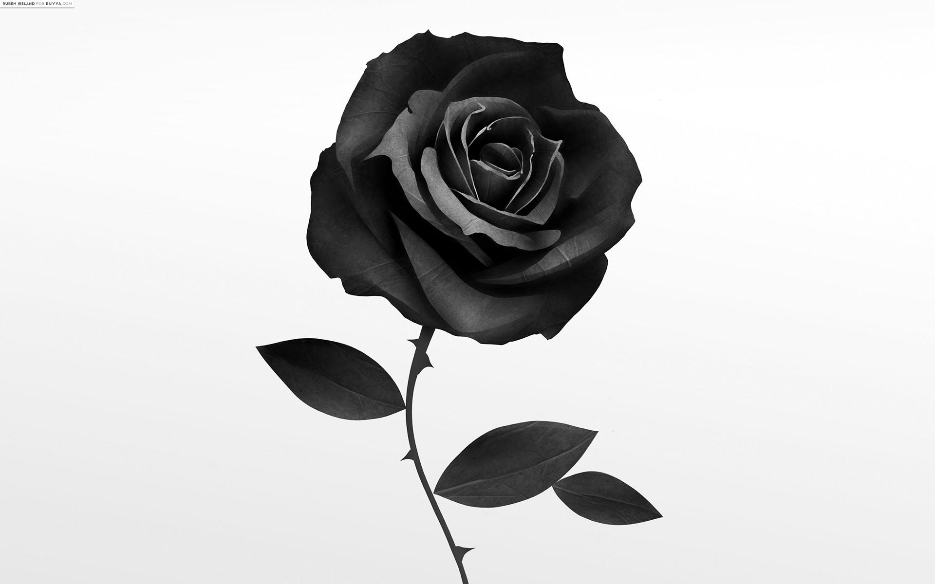 Bông hoa hồng đen đơn giản rất đẹp