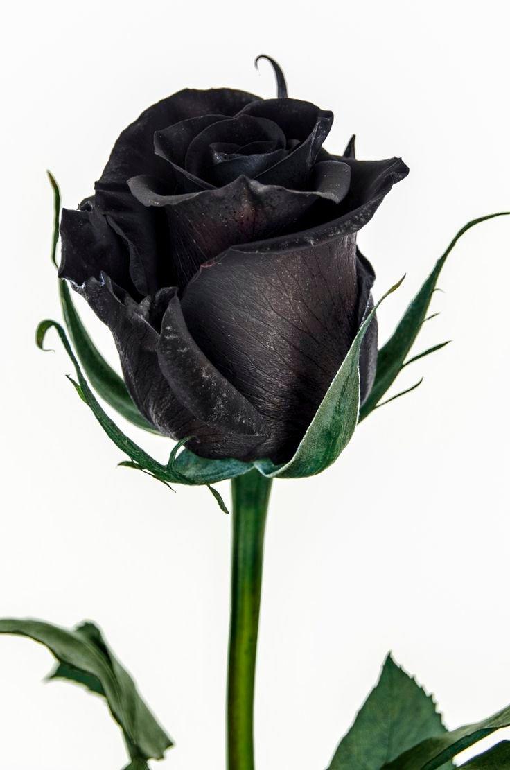 Bông hoa hồng đen mới đẹp làm sao