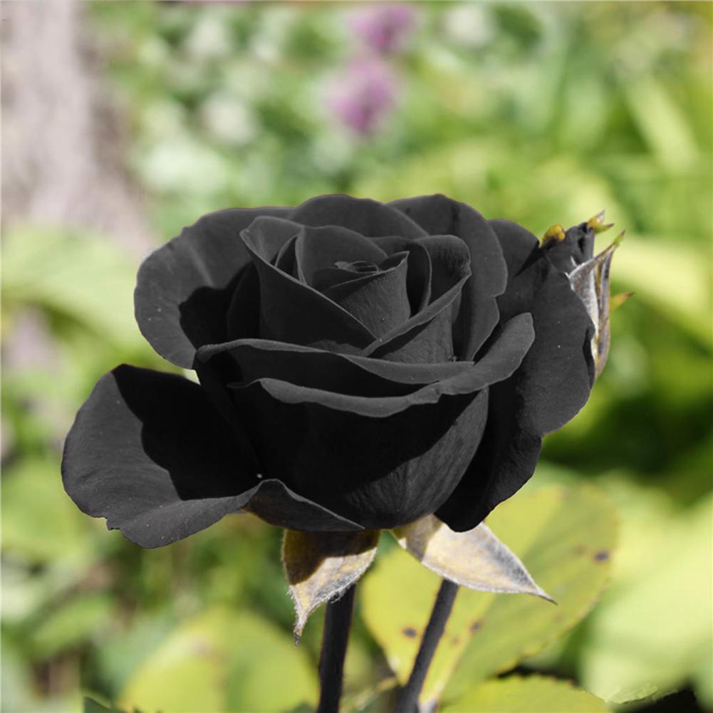 Cành hoa hồng đen cực đẹp