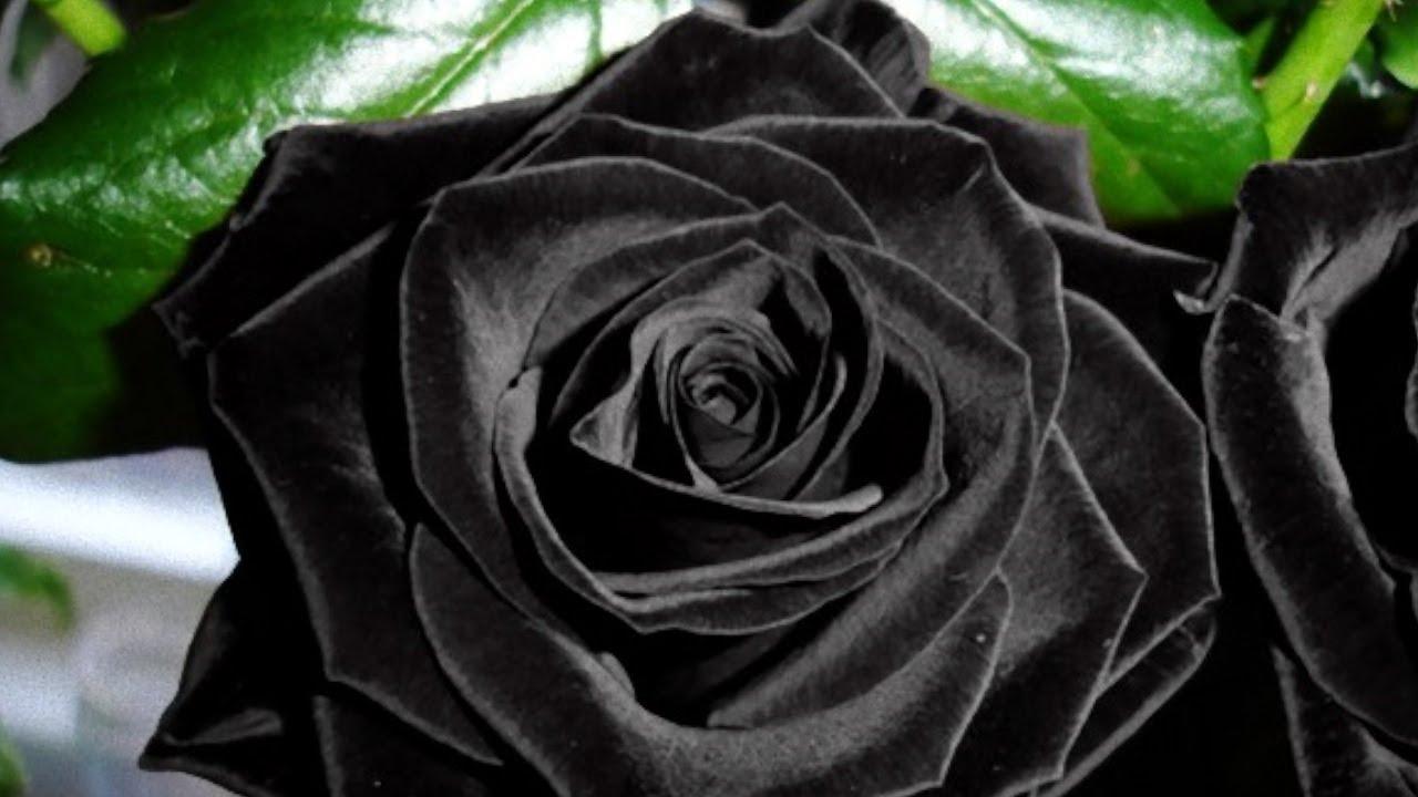 Hình ảnh bông hoa hồng đen lá xanh