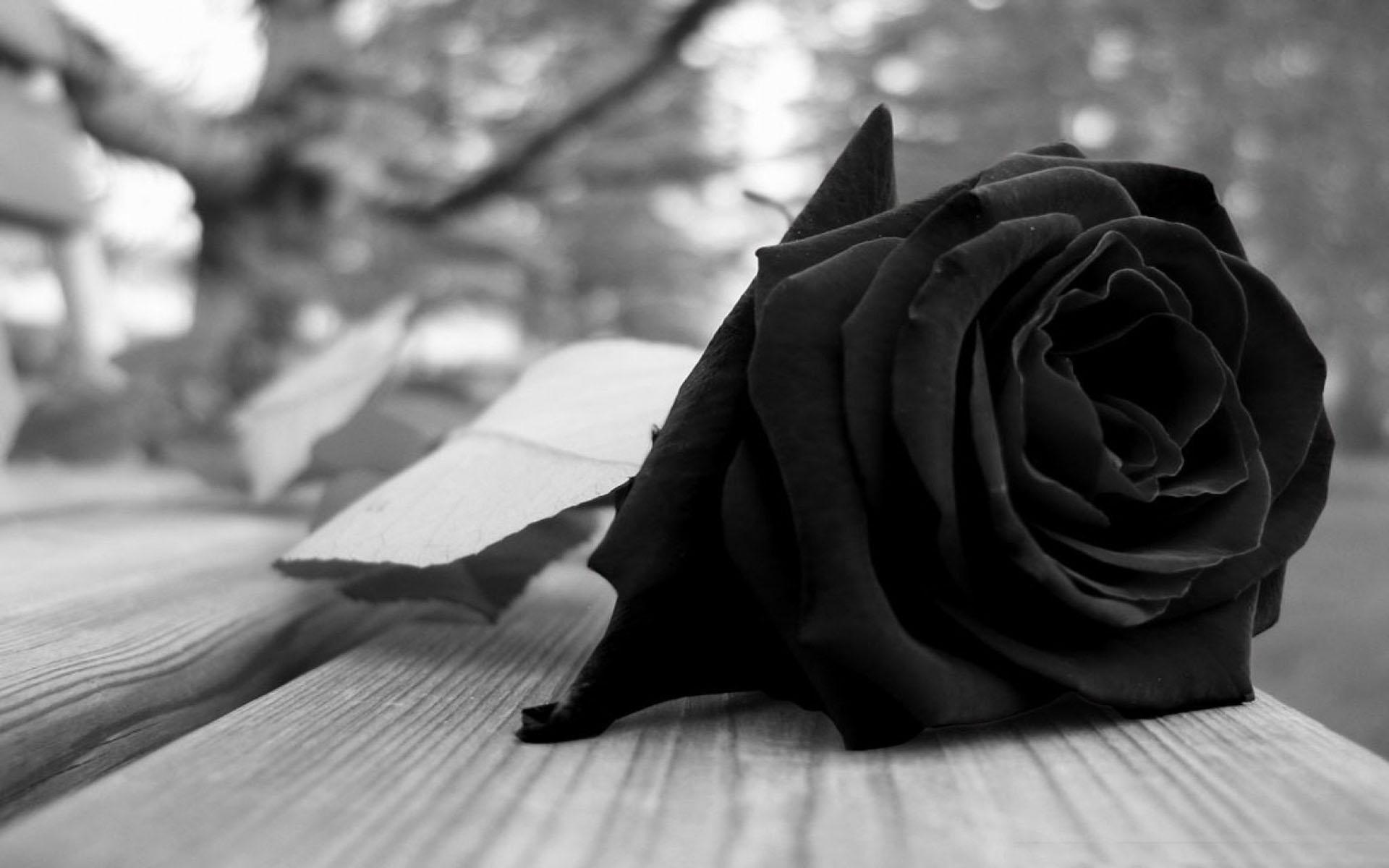 Hình ảnh bông hoa hồng nằm trên ghế