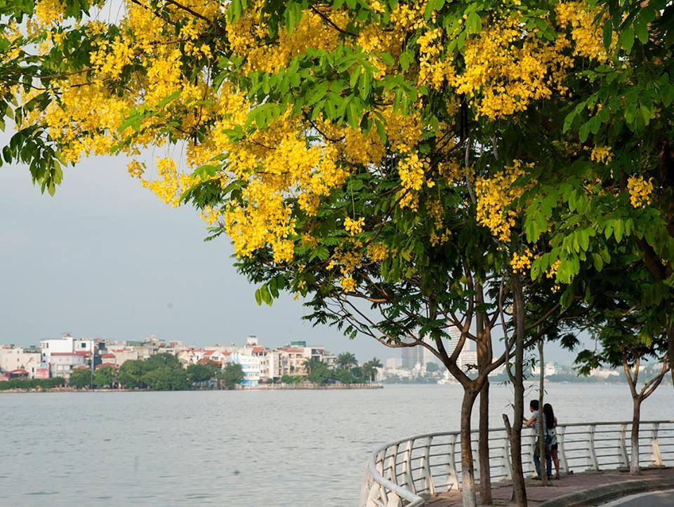 Hình ảnh hoa vàng ở Hồ Tây