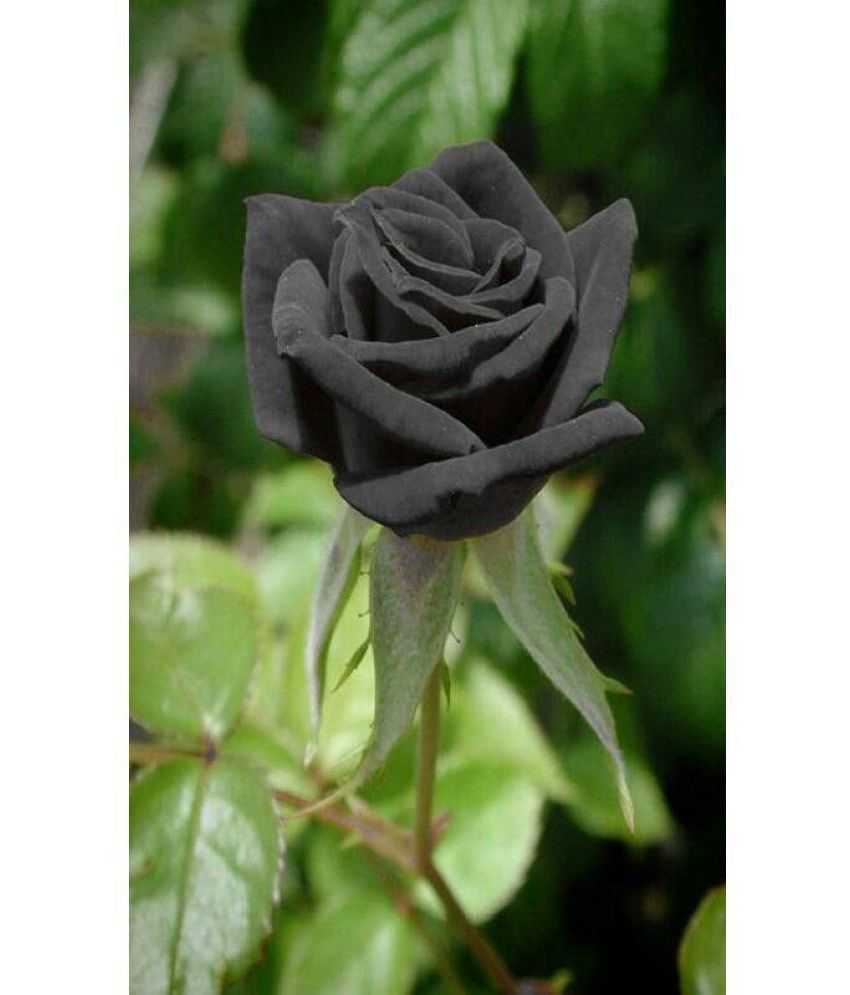 Hình hoa hồng đen rất đẹp