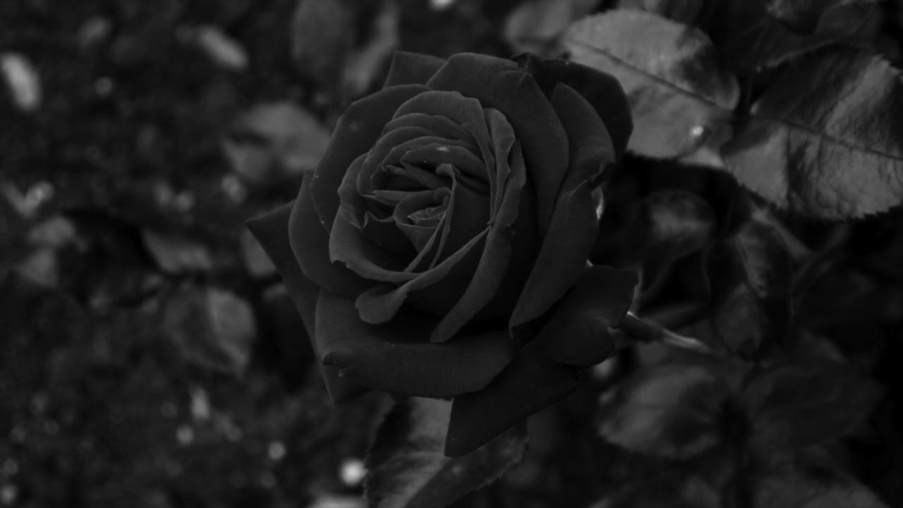 Hoa hồng đen cực đẹp