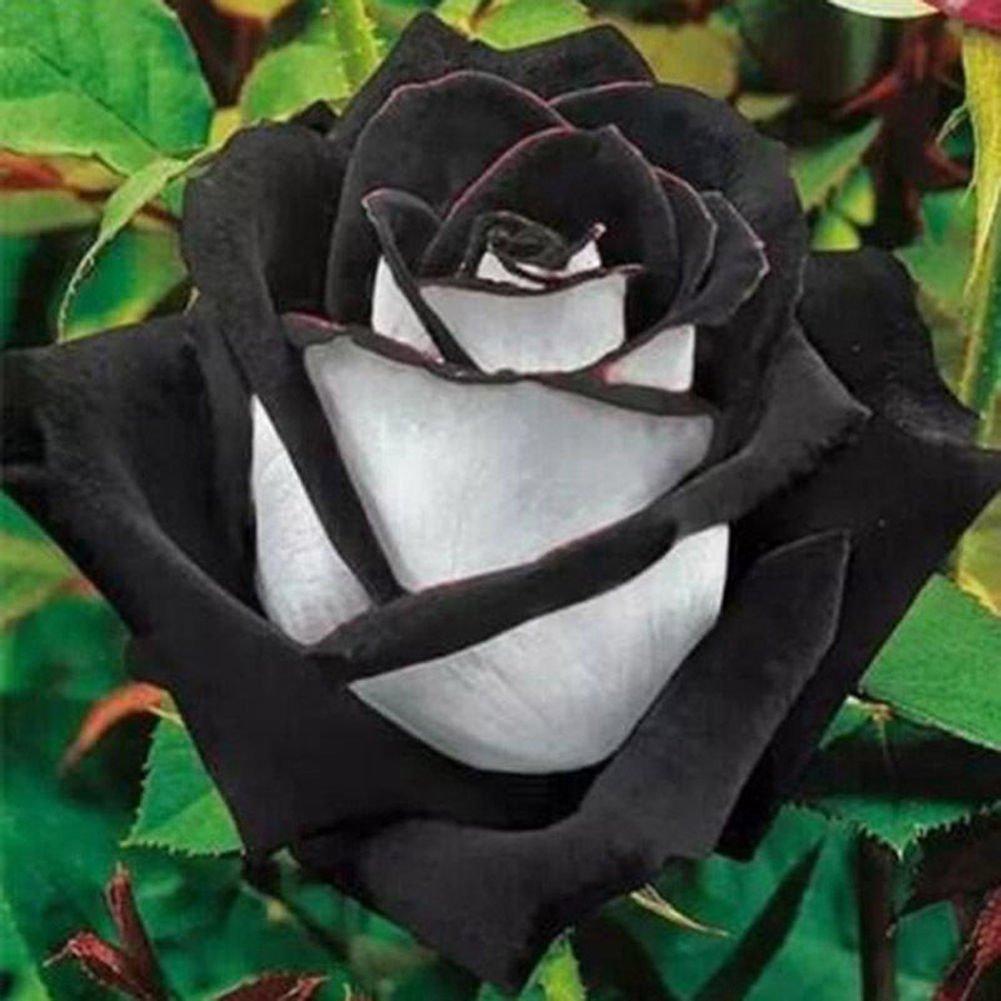 Hoa hồng trắng hoa hồng đen cực đẹp