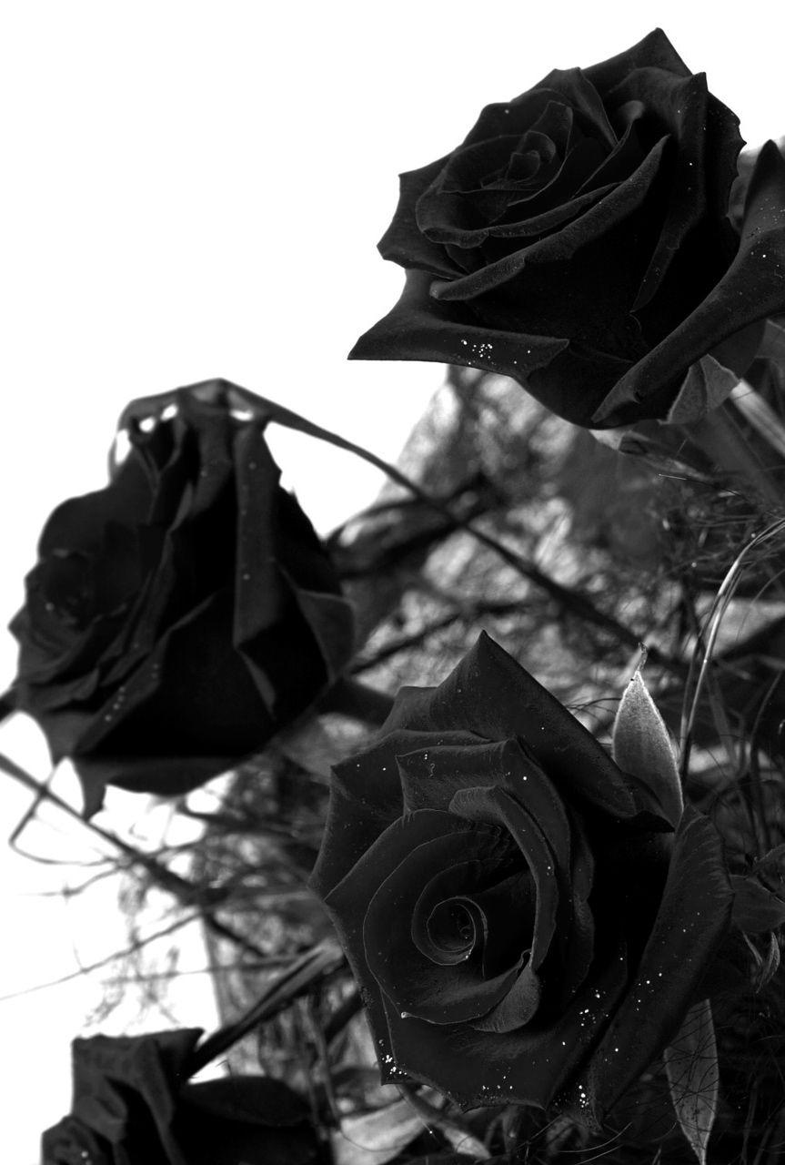 Những bông hồng đen khói đen cực đẹp
