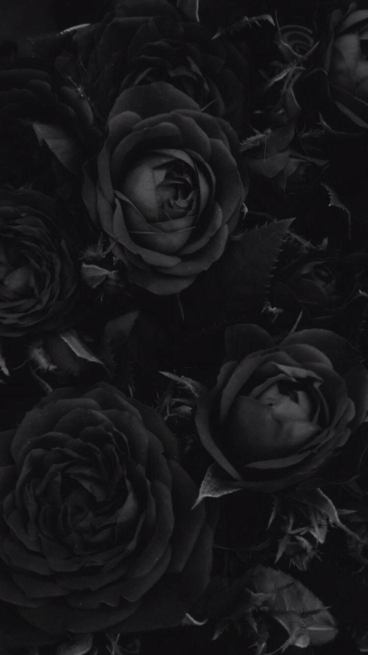 Những bụi hoa hồng đen rất đẹp