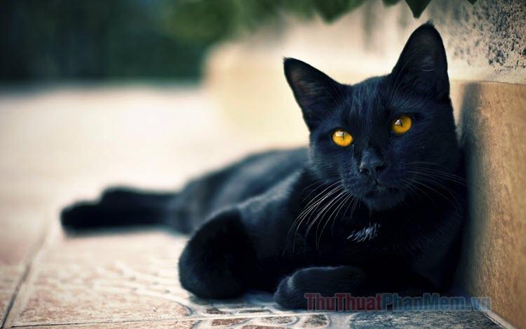 Hình ảnh mèo đen (black cat) đẹp nhất