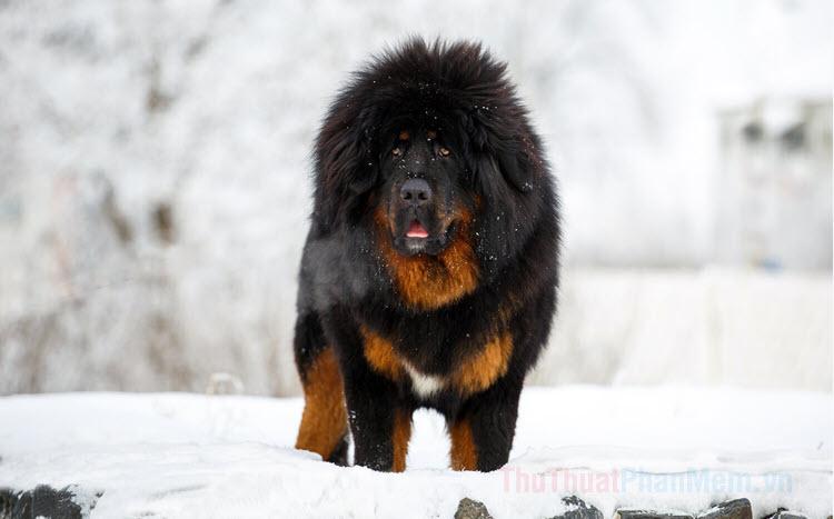 Hình ảnh những chú chó ngao Tây Tạng đẹp nhất