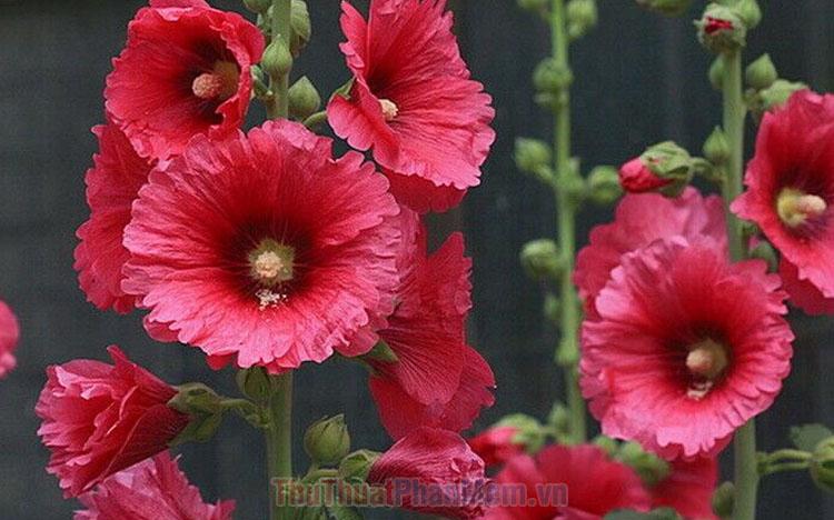 Hình ảnh hoa Mãn Đình Hồng đẹp