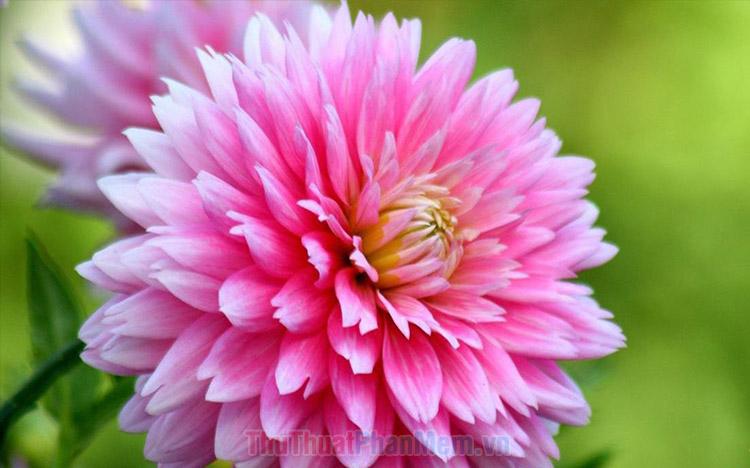 Hình ảnh hoa thược dược đẹp