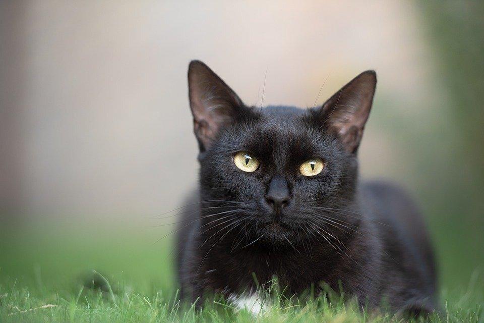 Ảnh con mèo màu đen đẹp