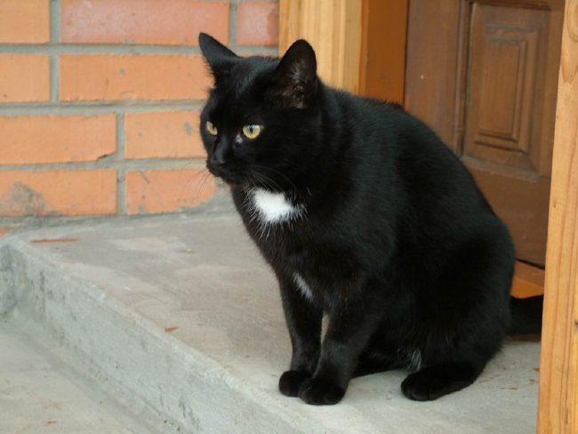 Ảnh con mèo màu đen