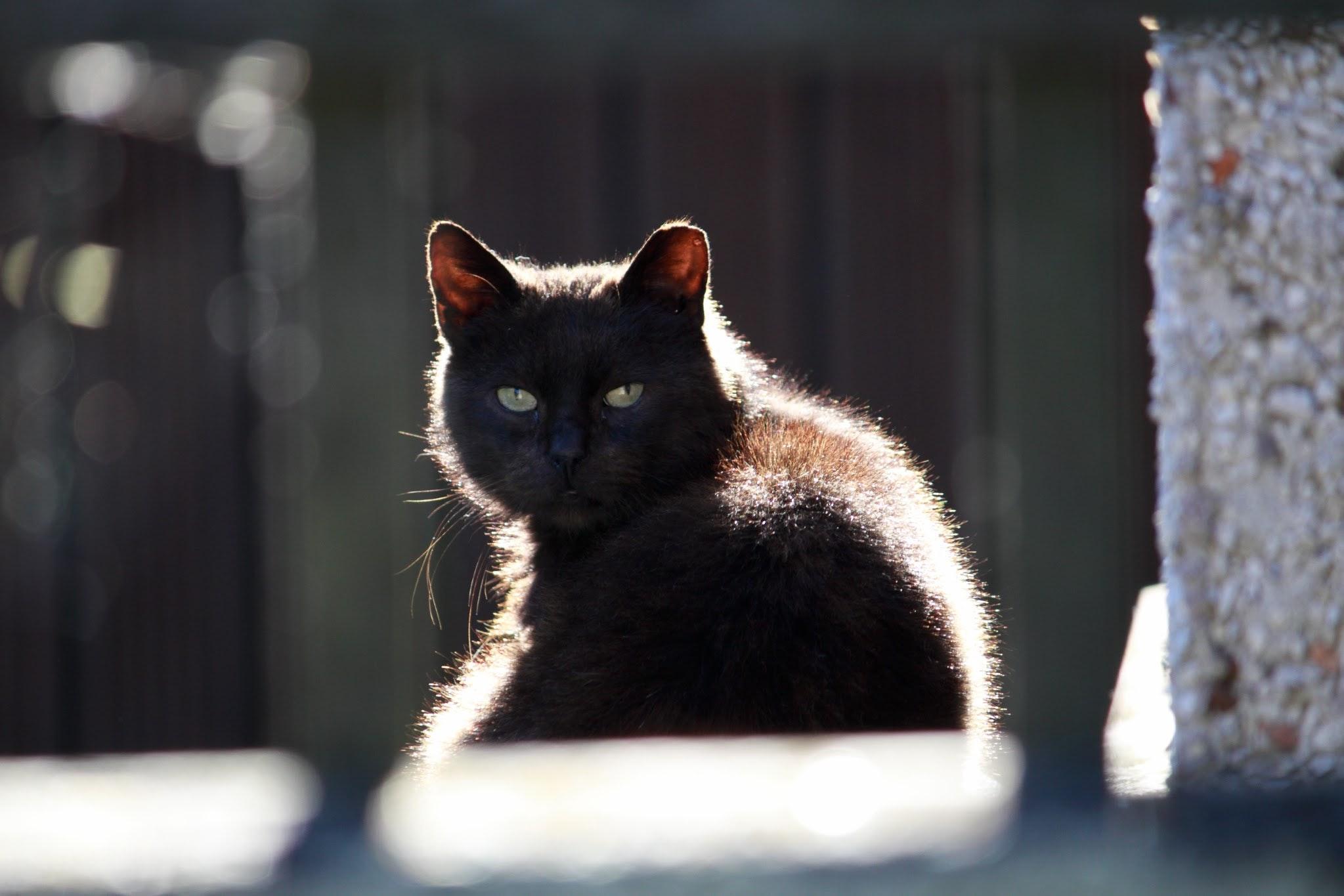 Ảnh đẹp về con mèo đen