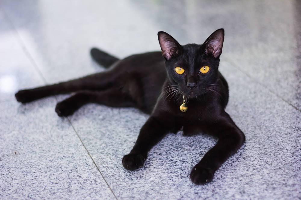 Ảnh mèo đen bombay