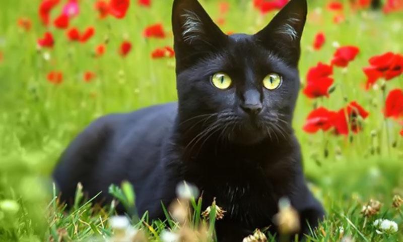 Ảnh mèo đen dễ thương nhất