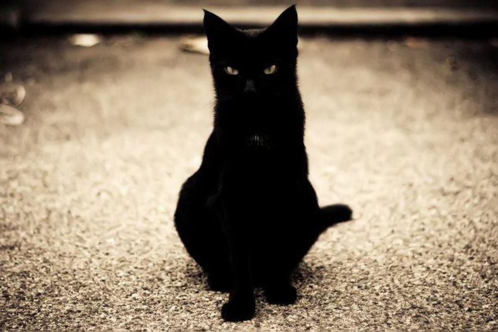 Ảnh mèo đen đẹp nhất