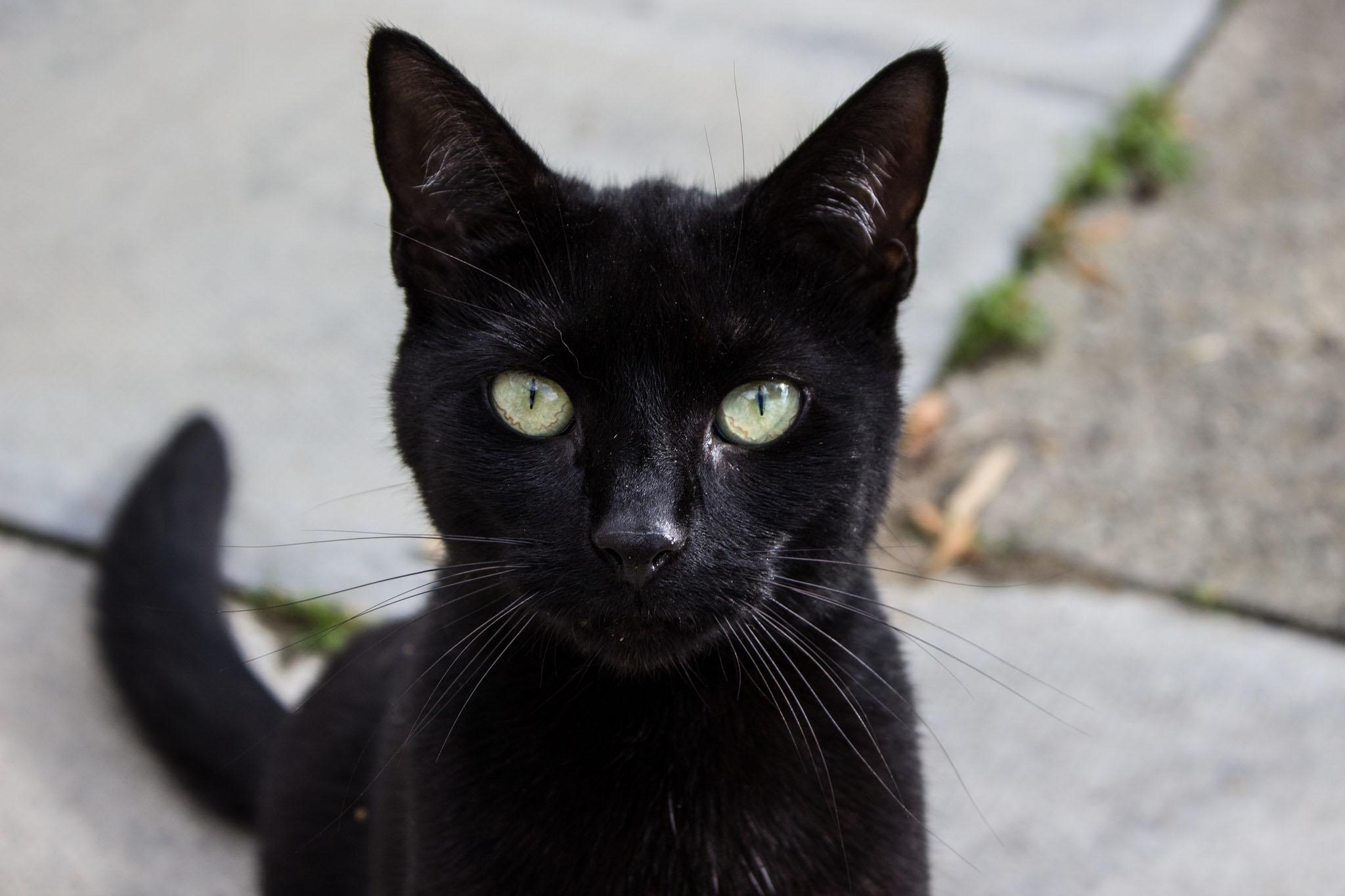 Ảnh mèo đen đẹp