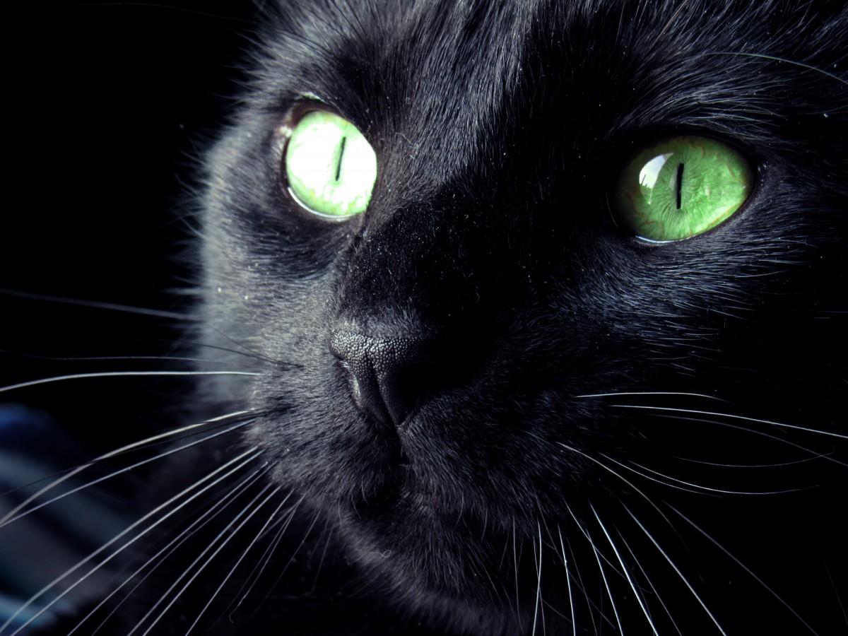 Ảnh mèo đen mắt xanh đẹp