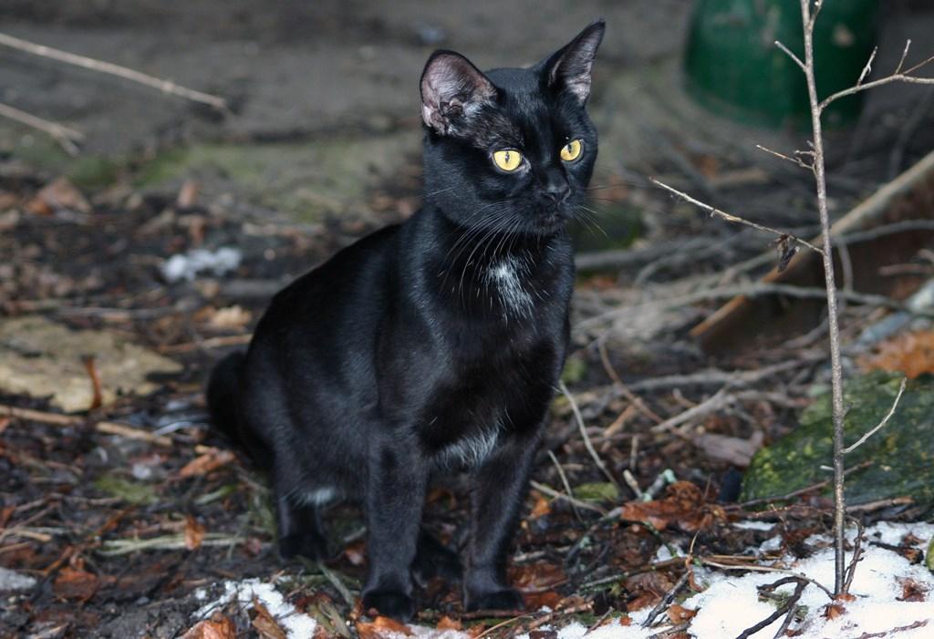Ảnh mèo đen tuyền