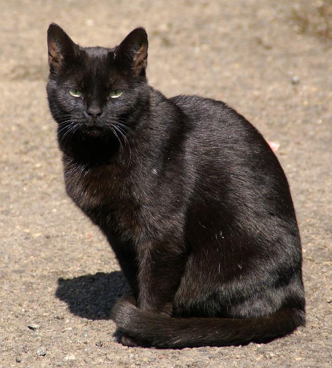 Ảnh mèo mun đen