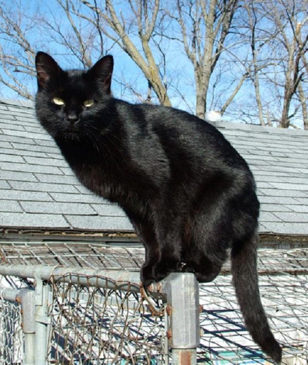 Hình ảnh con mèo đen đẹp