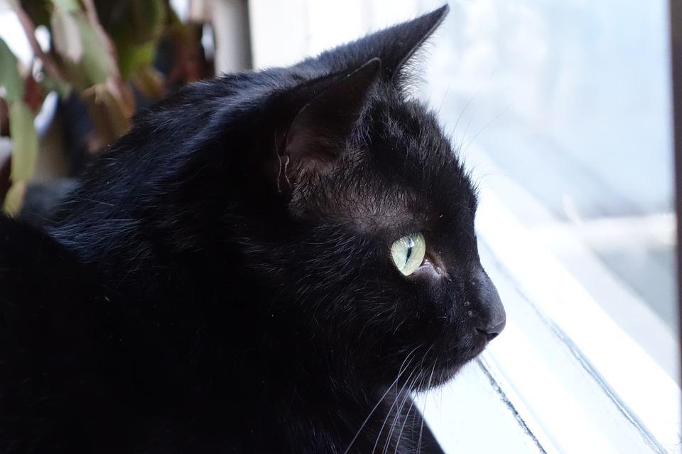 Hình ảnh con mèo đen