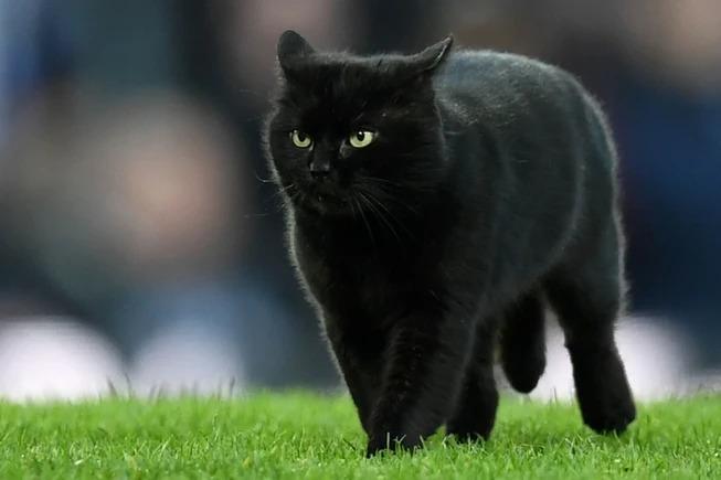 Hình ảnh mèo Anh đen