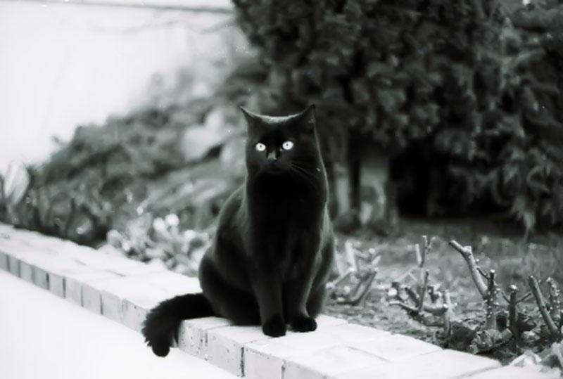 Hình ảnh mèo Anh lông ngắn màu đen