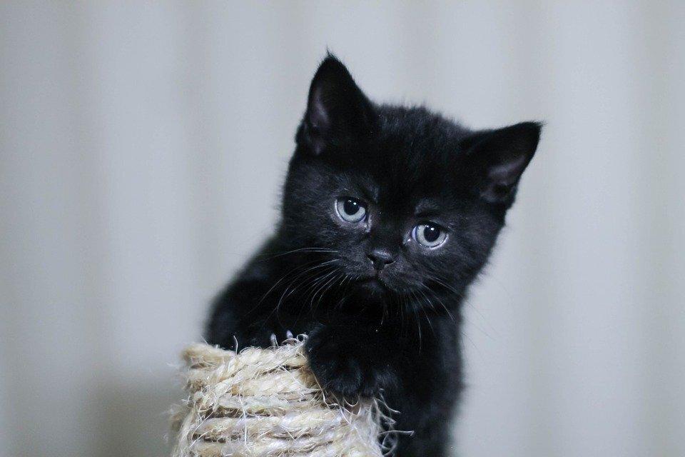 Hình ảnh mèo con đen dễ thương