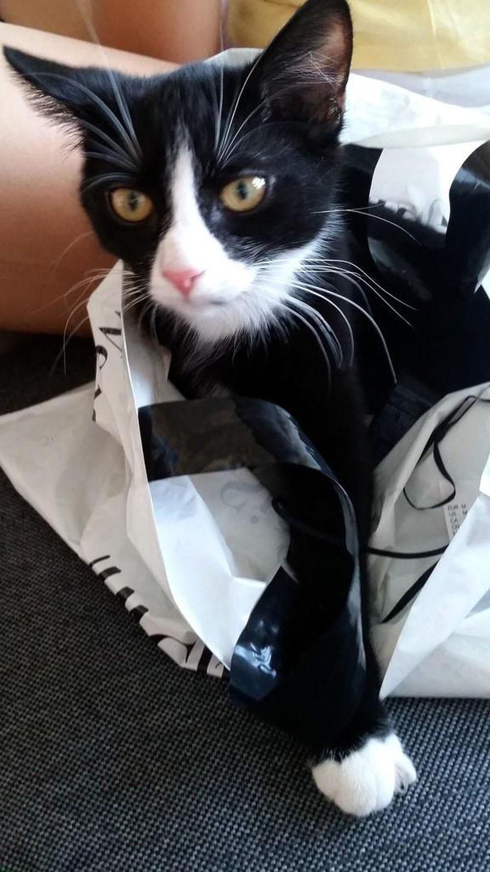Hình ảnh mèo đen chân trắng
