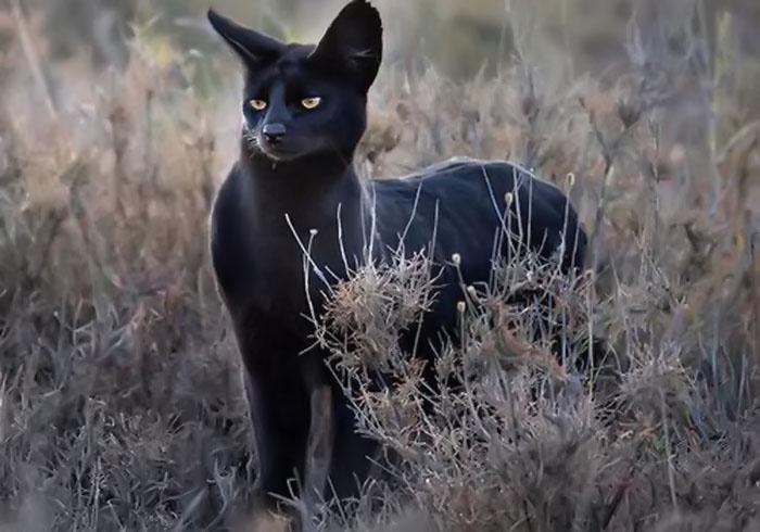Hình ảnh mèo đen hoang dã