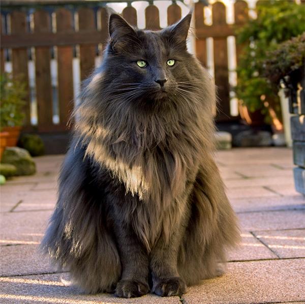 Hình ảnh mèo đen lông dài