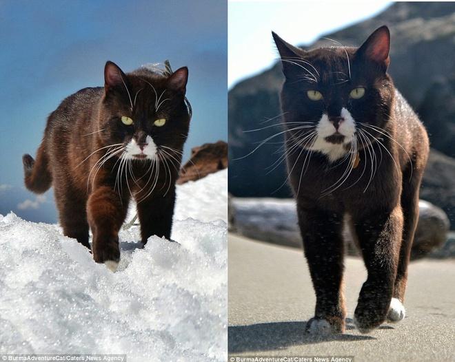Hình ảnh mèo đen miệng trắng