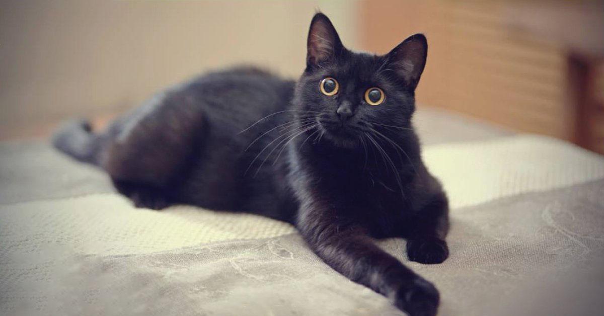 Hình ảnh mèo đen ngước nhìn