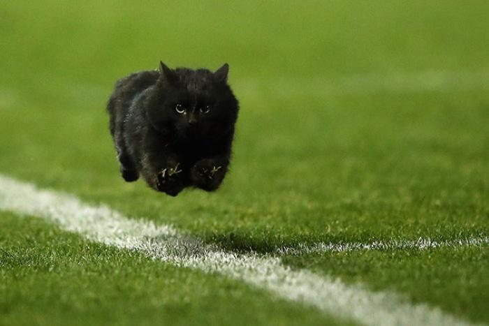 Hình ảnh mèo đen trên sân cỏ